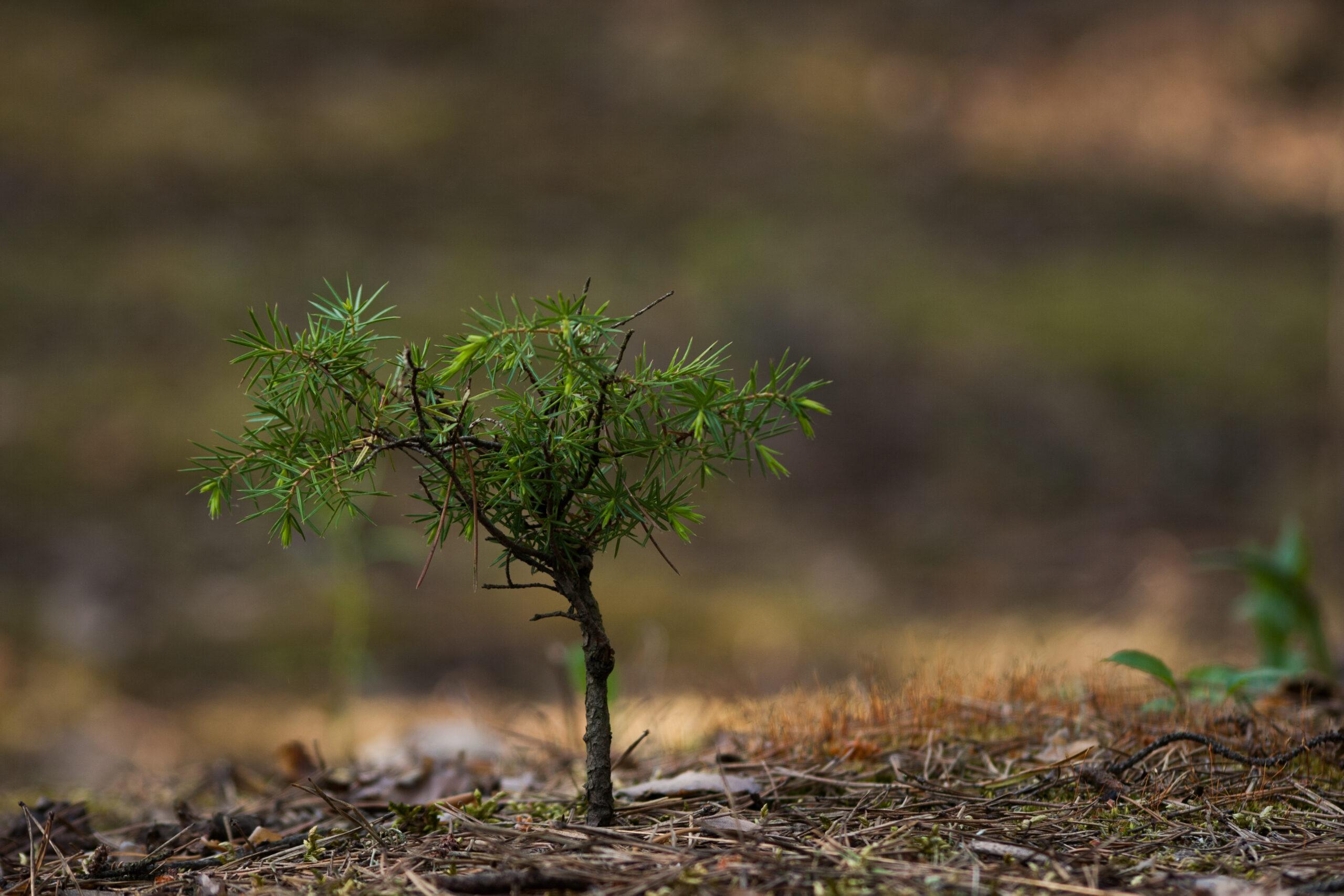 """Wyróżnienie, kategoria wiekowa do 15 lat, podkategoria leśne szczegóły - Karol Bryk """"Mały świerk"""""""