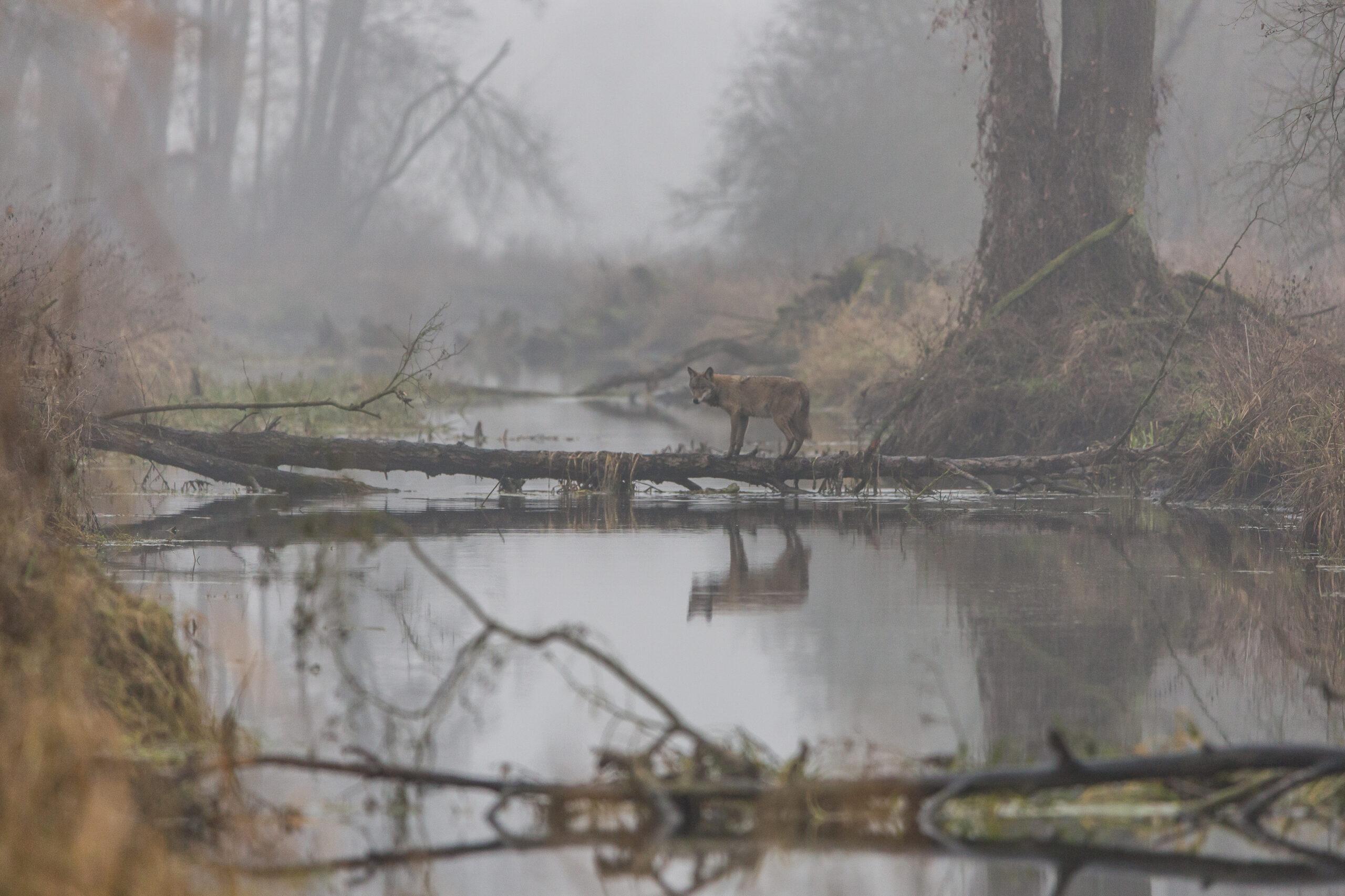 """I miejsce, kategoria wiekowa powyżej 20 lat, podkategoria przyrodnicze zdjęcie krajobrazowe – Cezary Kucharczyk """"Wilcza przeprawa"""""""